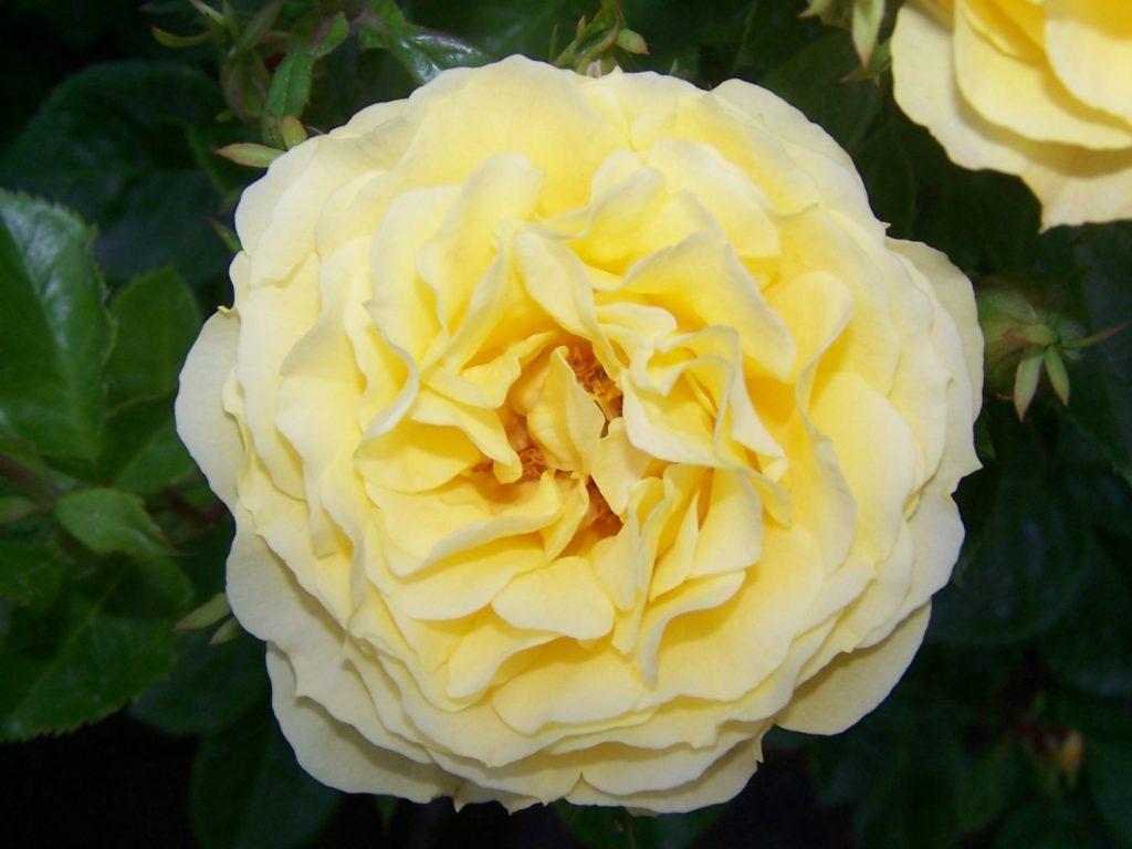 Róże Goldstern